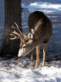 Sun and Snow. Antlered mule deer foraging for food in the sun and snow royalty free stock image