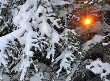 Sun through snow branches of fir Stock Images