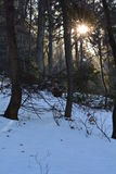Sun & snow in the forest. Beautiful morning in the forest - rays of the sun Royalty Free Stock Image