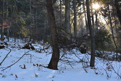 Sun & snow in the forest. Beautiful morning in the forest - rays of the sun Royalty Free Stock Photos