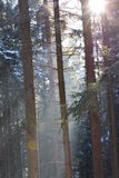 Sun & snowing in the forest. Beautiful morning rays of the sun in the forest with snowflakes Royalty Free Stock Photos