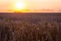 Sun sobre trigo de la cosecha mecanizada y el remolque de relleno foto de archivo