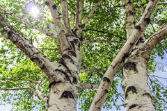 Sun Sparkles Through Leaves of Birch Tree Royalty Free Stock Photo