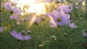 Sun spectra flowers evening. stock footage