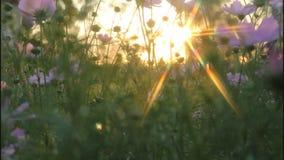 Sun spectra flowers evening. stock video footage