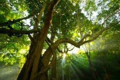 Sun splashing light, sunlight through leaves, Tree. Larger trees the morning light light gold light sun shine nature forest jungle Tropics Royalty Free Stock Photos