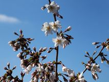 Blossom of a plum tree in the spring sun royalty free stock image