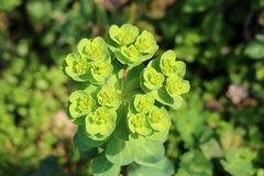 Sun spurge or Euphorbia helioscopia herbaceous annual flowering plant with oval leaves and small yellow green flowers surrounded. Sun spurge or Euphorbia stock image