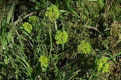 Sun spurge. Weeds that make yellow green flowers growing in wastelands `Sun spurge Royalty Free Stock Photos