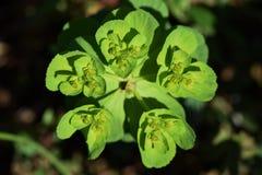 Sun spurge. Weeds that make yellow green flowers growing in wastelands `Sun spurge Stock Photos