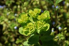 Sun spurge. Weeds that make yellow green flowers growing in wastelands `Sun spurge Stock Photography