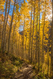 Sun Star and Aspen Trees on Colorado Trail. Sun shines through the yellow leaves of branches of Aspen Trees next to a trail in the forest in a fall morning on stock images