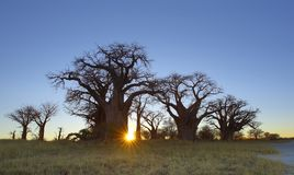 Sun Star burst at Baines Baobab Royalty Free Stock Image