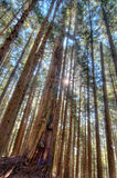 Tall Trees in Forest With Sun Star Stock Images