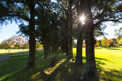 Sun Starburst através das árvores Foto de Stock
