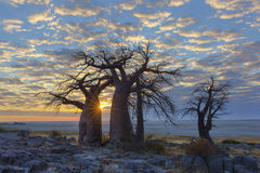 Sun starburst at the baobabs Royalty Free Stock Photography
