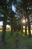 Sun Starburst par les arbres Image libre de droits