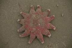Stranded sun starfish. Sun starfish curling up its toes after being stranded on the beach after a storm. Background is pebbles from the beach. I put it back in a Royalty Free Stock Photo
