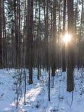 The Sun strålar passerar till och med träden i vinterskog royaltyfria foton