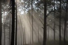 Sun-Strahl in einem Kiefernwald stockfoto