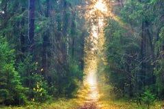 Sun-Strahl in einem Nebel im Wald Stockfotografie