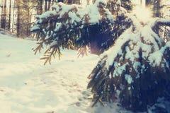 Sun-Strahlen belichten schneebedeckte Niederlassungen von Tannenbäumen lizenzfreies stockfoto