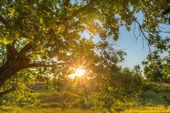 Sun-Strahlen der untergehenden Sonne im Eichenlaub Stockfoto