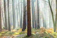 Sun-Strahlen durch den Fallwald Lizenzfreie Stockbilder