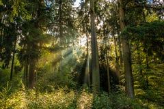 Sun-Strahlen durch den Wald Lizenzfreies Stockbild