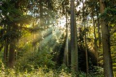 Sun-Strahlen durch den Wald Lizenzfreie Stockfotografie