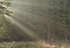 Sun-Strahlen durch die TannenBäume des Waldes Lizenzfreie Stockbilder