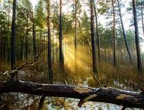 Sun-Strahlen durch Nebel im Wald Stockfotos