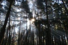 Sun-Strahlen in einem Wald Lizenzfreie Stockfotografie