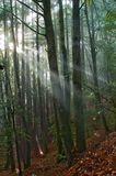Sun-Strahlen fallen in den moosigen Wald Lizenzfreie Stockfotos