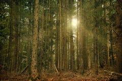Sun-Strahlen im dunklen Wald Lizenzfreies Stockfoto