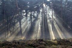 Sun-Strahlen im nebelhaften Wald Stockbilder