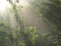 Sun-Strahlen im nebelhaften Wald Lizenzfreies Stockfoto