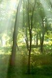 Sun-Strahlen im Wald Lizenzfreie Stockfotografie