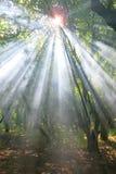 Sun-Strahlen im Wald Lizenzfreies Stockfoto