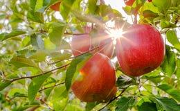 Sun-Strahlen laufen Apfelbaum durch Stockfoto