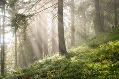 Sun-Strahlen unter Kiefern im Wald Stockfoto