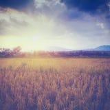 Sun-Strahln- und -feldstoppelreis Stockfotos