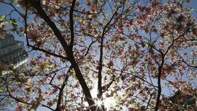 Sun strahlt blauen Himmel der Blütenmagnolienbaumkrone stock video
