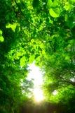 Sun strahlt das Glänzen durch die Bäume Stockfotos