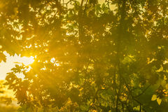 Sun strahlt durch Baumaste und Blätter aus Stockbild