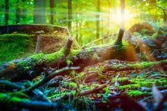 Sun strahlt glänzenden Gedanken aus, den der alte gefallene Baum durch Moos in einem Wald umfasste Lizenzfreies Stockbild