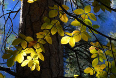 Sun streaming through forest lighting leaves of a tree. Sun streaming through forest lighting the leaves of a tree against an indigo blue sky Royalty Free Stock Photo
