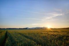Sun sube sobre el campos de trigo en el bosque Foto de archivo libre de regalías