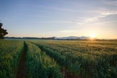 Sun sube sobre el campos de trigo en el bosque Imagen de archivo libre de regalías