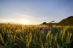 Sun sube sobre los campos de trigo con la bici en el bosque Fotos de archivo